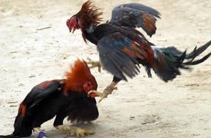 tough cockfighting laws approved by utah senate committee